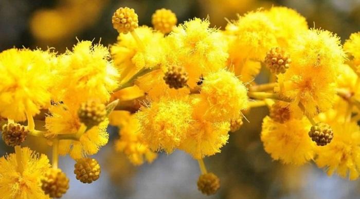 Мимоза как цветет