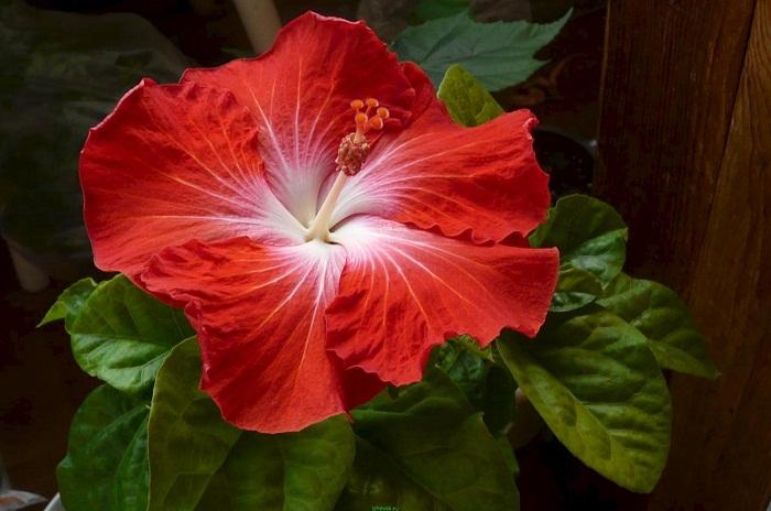 Полезные свойства цветка