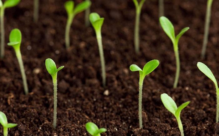 Флокс друммонда семена