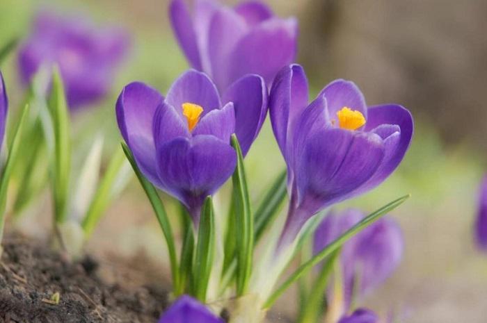 Не цветут крокусы