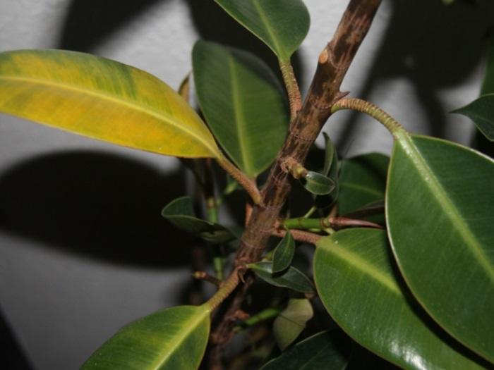 Почему у фикуса Бенджамина опадают листья: причины, почему сбрасывает