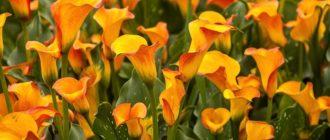 Почему не цветет калла