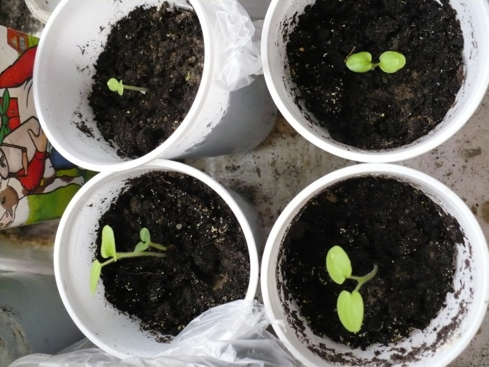 Выращивания из семян