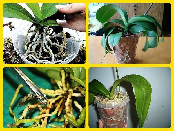 Как правильно пересадить Орхидею в домашних условиях - пошаговая инструкция