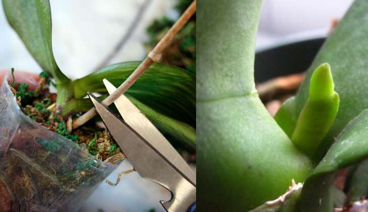 Что делать со стрелкой когда Орхидея отцвела