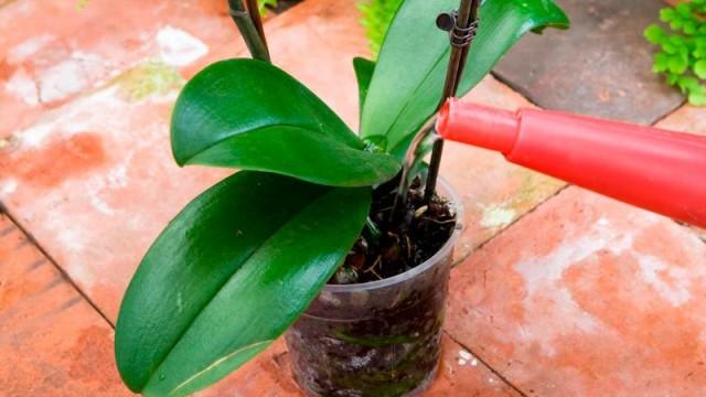 Как в домашних условиях поливать Орхидею