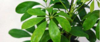 Цветок с узкими, длинными листочками