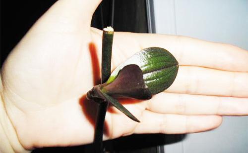 Как применять цитокининовую пасту для Орхидей