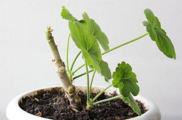 Посадка герани отростком без корней - уход