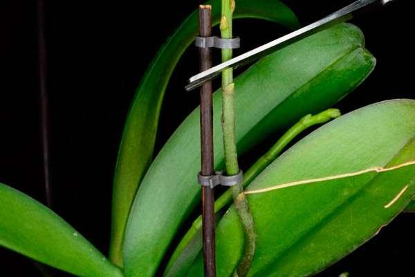Как правильно обрезать Орхидею после цветения - инструкция