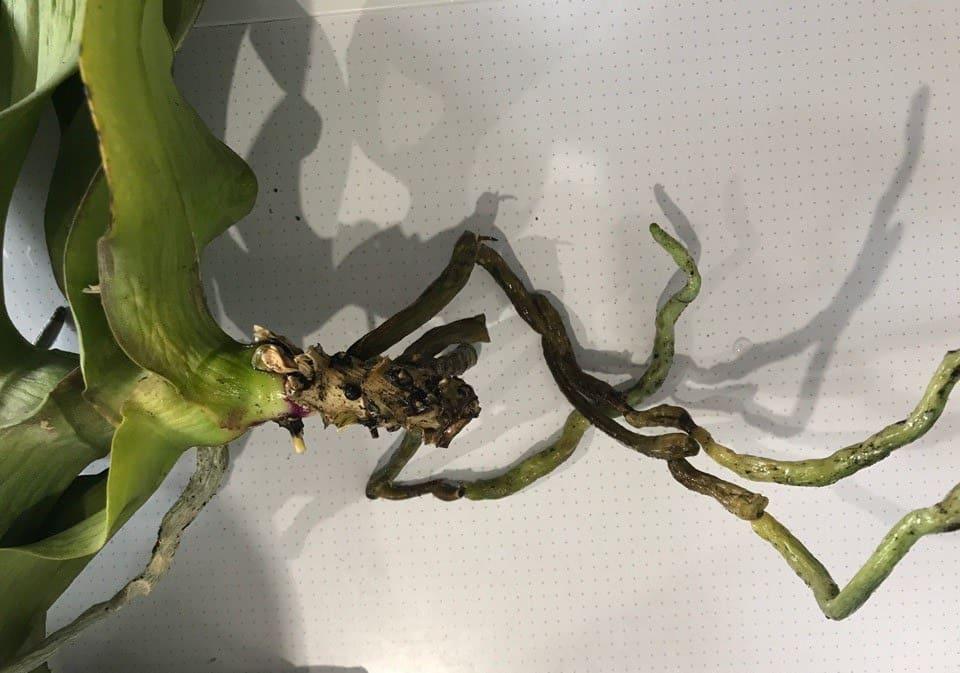 Как быстро нарастить крепкие корни у детки орхидеи