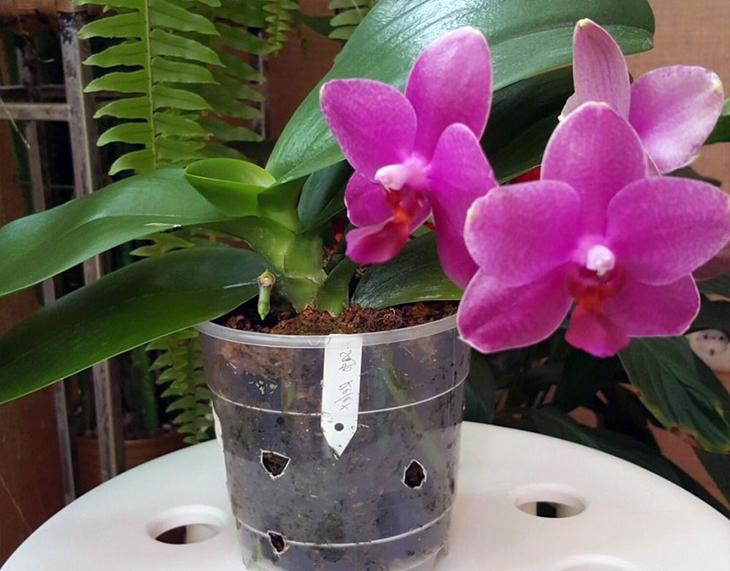 Не цветет орхидея - причины и что делать, чтобы зацвела