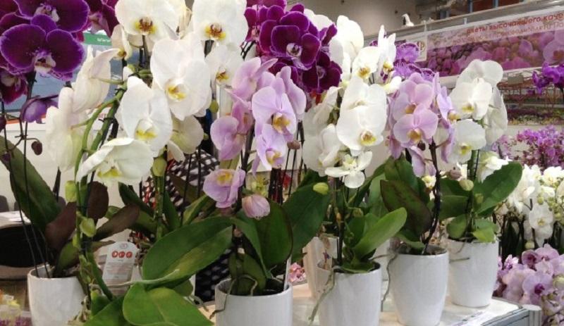 Орхидея - методы размножения в домашних условиях