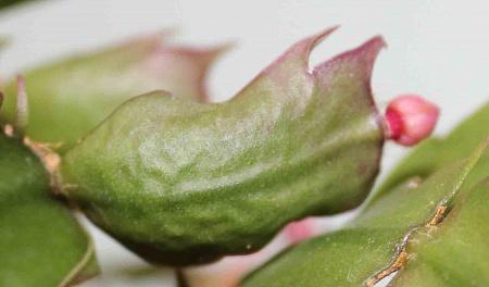 Причины почему у Декабриста краснеют листья