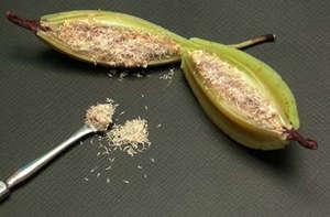 Как из семян вырастить Орхидею в домашних условиях
