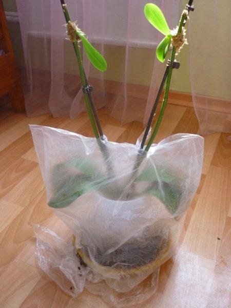 Способы как реанимировать Орхидею - если сгнили корни или без корней