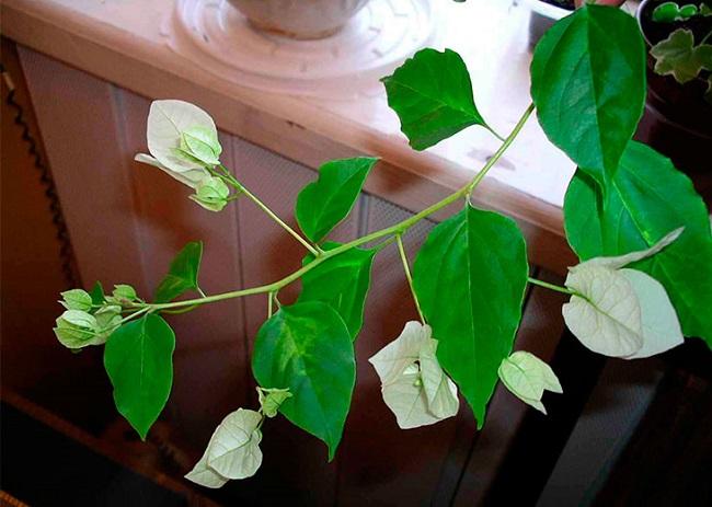 Бугенвиллия - уход и размножение в домашних условиях, обрезка