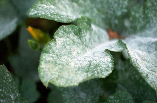 Почему у дипладении желтеют и опадают листья - что делать