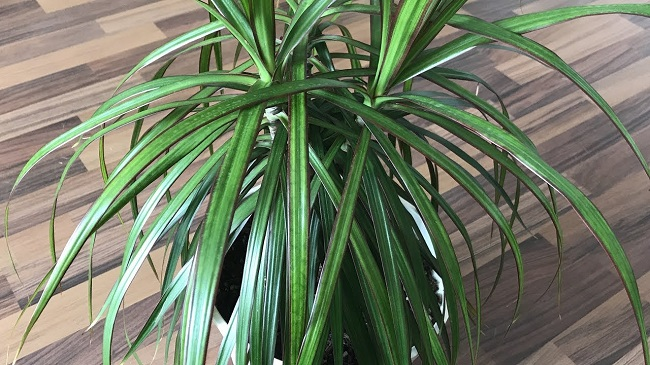 Драцена душистая- польза и вред для дома, где должна стоять драцена в квартире, разновидности растения