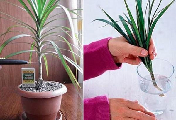 Размножение драцены в домашних условиях - черенками, отводками, семенами, ответвлениями