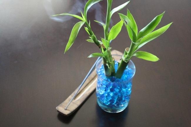 Драцена Сандера (бамбук счастья) - уход в домашних условиях