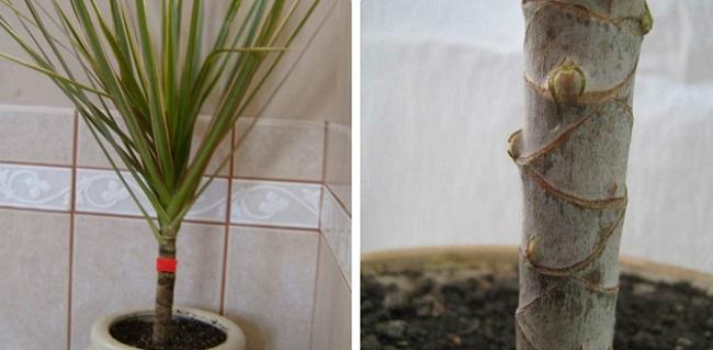 Обрезка драцены в домашних условиях - для ветвления, выросшую до потолка, формирование кроны