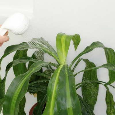 Как правильно поливать драцену - зимой, летом, после пересадки, особенности полива
