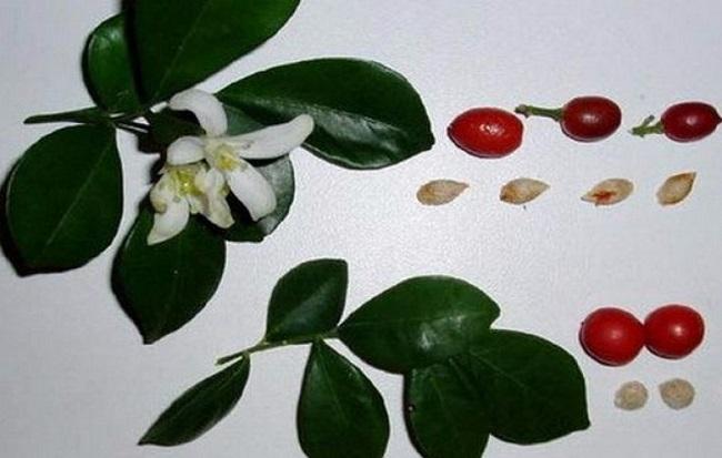 Мурайя из семян - как посадить и вырастить в домашних условиях