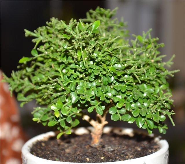 Лечебные свойства Мурайи: в чем польза растения