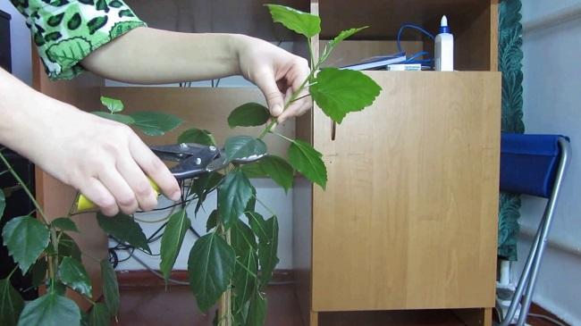 Обрезка гибискуса комнатного и садового - формирование кроны