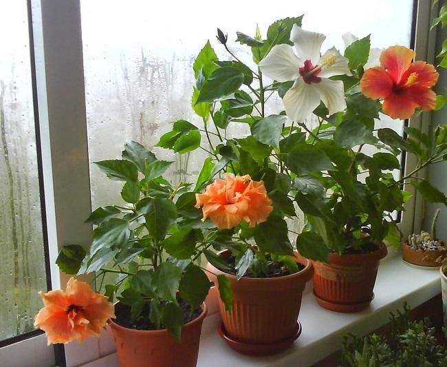 Почему гибискус (китайская роза) не цветет в домашних условиях