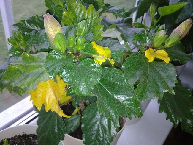 Почему желтеют листья у гибискуса и что делать