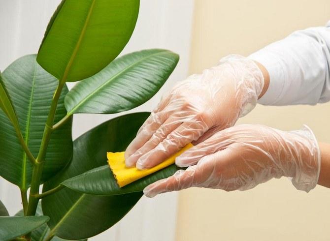 Фикус каучуконосный - посадка и уход в домашних условиях, размножение и болезни