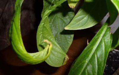 Пахистахис - посадка и уход в домашних условиях, фото сортов, размножение и болезни