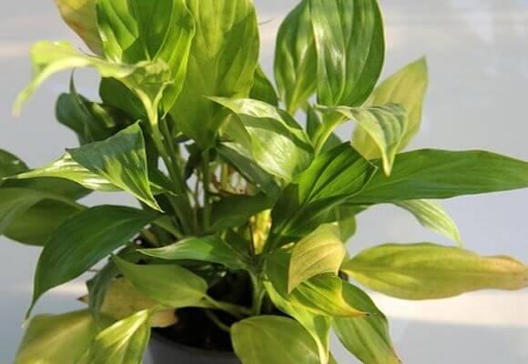 Почему не цветет спатифиллум - причины и как заставить зацвести