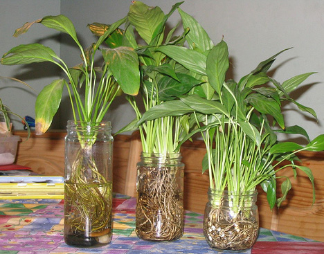 Спатифиллум Домино - посадка и уход в домашних условиях, болезни, размножение