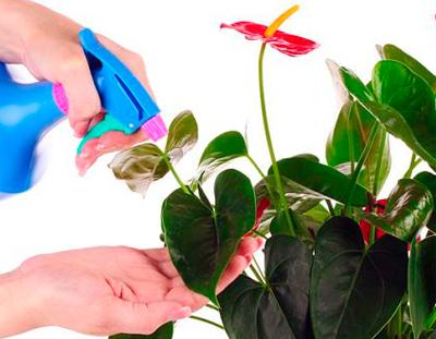 Спатифиллум красный (антуриум) - уход и посадка в домашних условиях, размножение