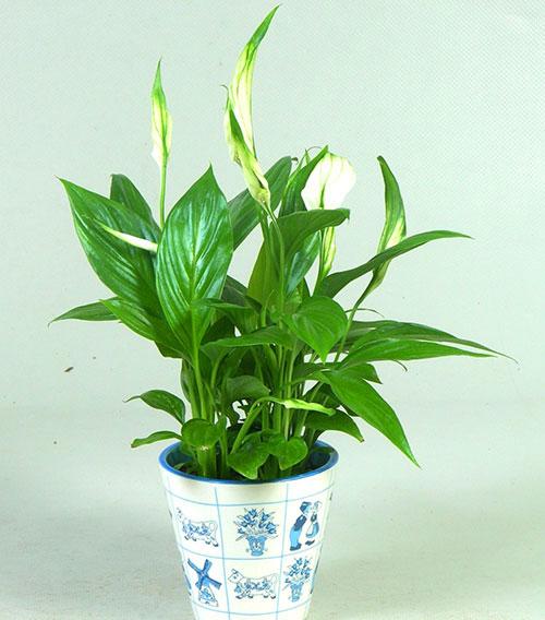Спатифиллум Купидо - посадка и уход в домашних условиях, размножение