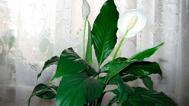 Спатифиллум Уоллиса - посадка и уход в домашних условиях, размножение и болезни