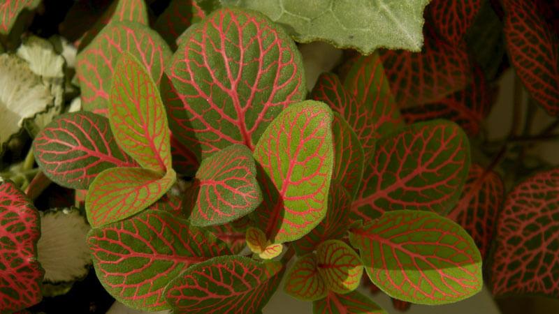 Цветок фиттония – уход в домашних условиях, сорта, размножение