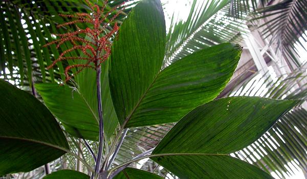 Пальма хамедорея – уход и содержание в домашних условиях, размножение, болезни