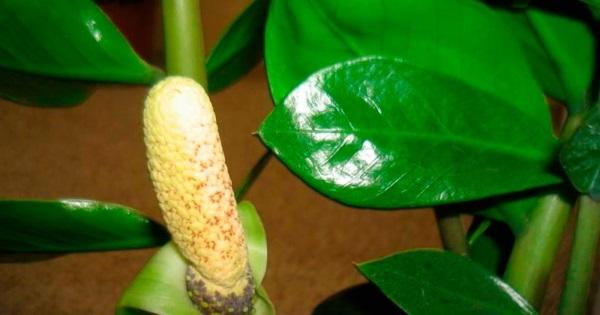 Замиокулькас цветет довольно редко