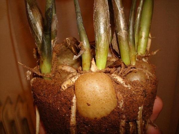 Если у растения сгнил клубень