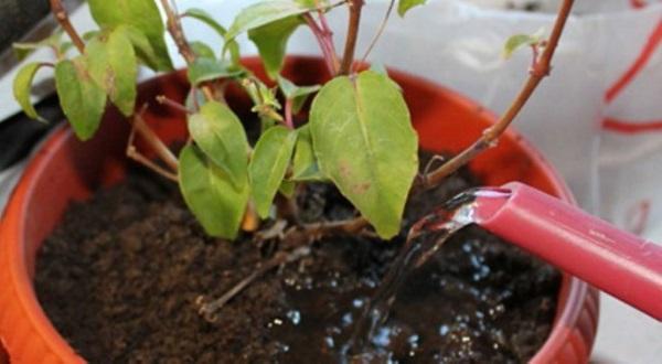 влаголюбивое растение