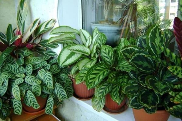 Комнатные растения маранта уход