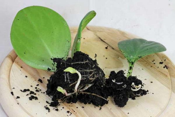 Срезать лист следует острым лезвием