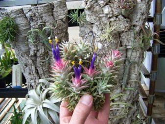 Тилландсия – посадка и уход, размножение цветка в домашних условиях
