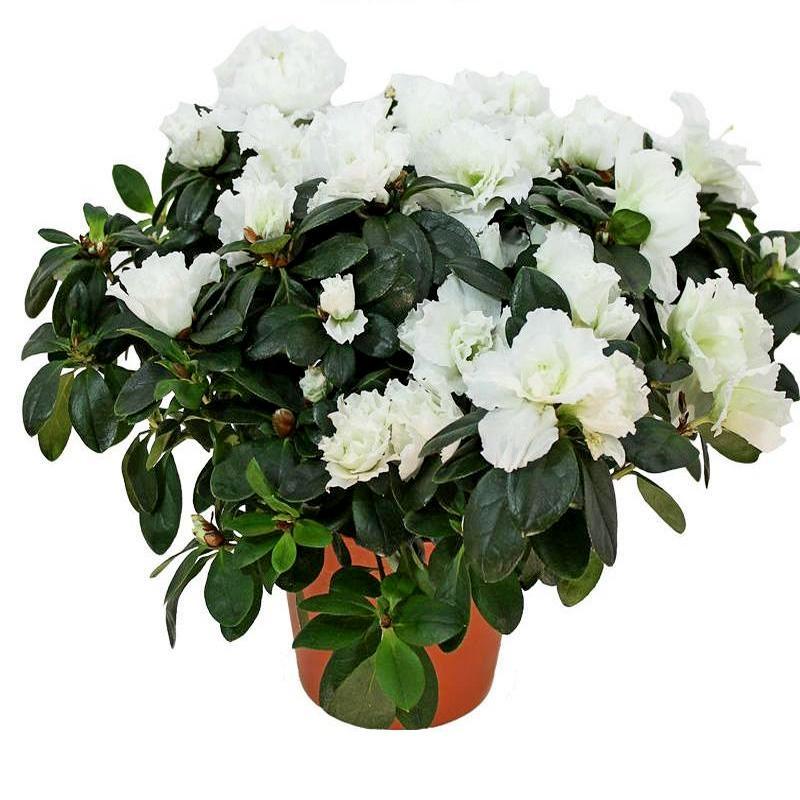 Во сне белые цветы в горшках