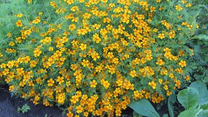 Бархатцы тонколистные - выращивание из семян, посадка рассады и уход