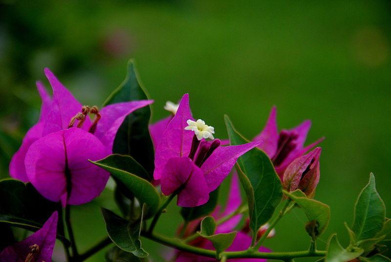 Почему не цветет бугенвиллия в комнатных условиях и в саду